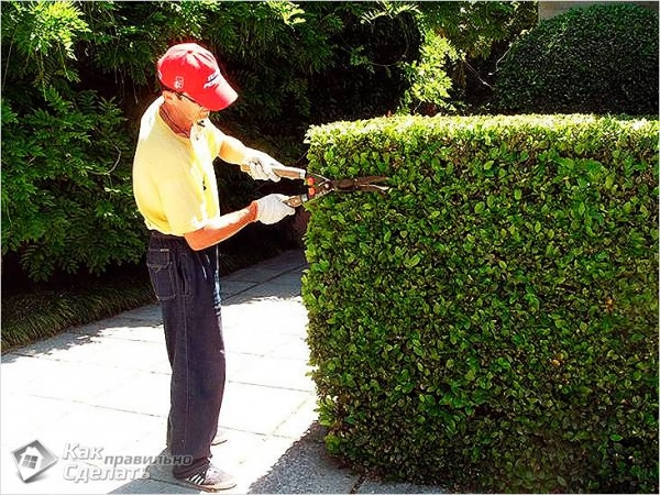 Как сделать живую изгородь на даче своими руками (+фото)